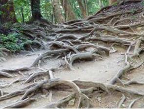 Tree Roots in Kibune, Japan